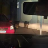 Torino, Polizia Municipale scorta famiglia di cinghiali in via Bologna
