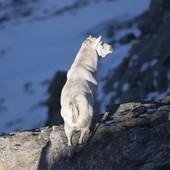 C'è uno stambecco bianco in Val Susa, è senza corna ed è il capo